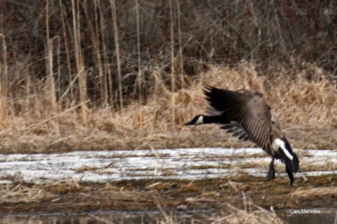 Landing goose