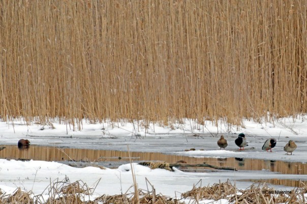 Mallards and muskrat in marsh