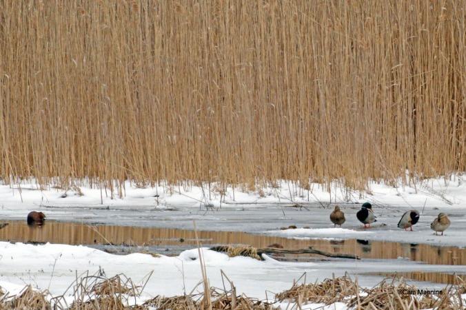 Mallards and muskrat in marsh