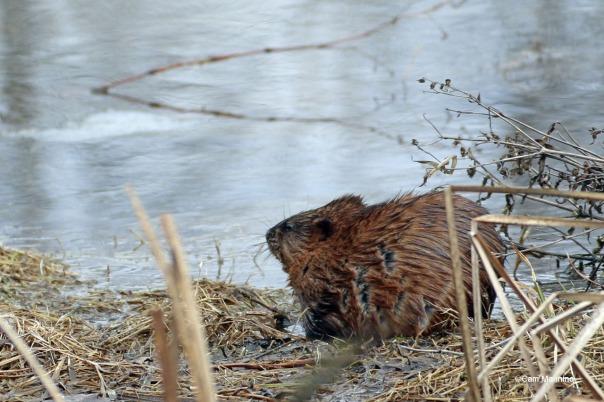 Muskrat in the marsh