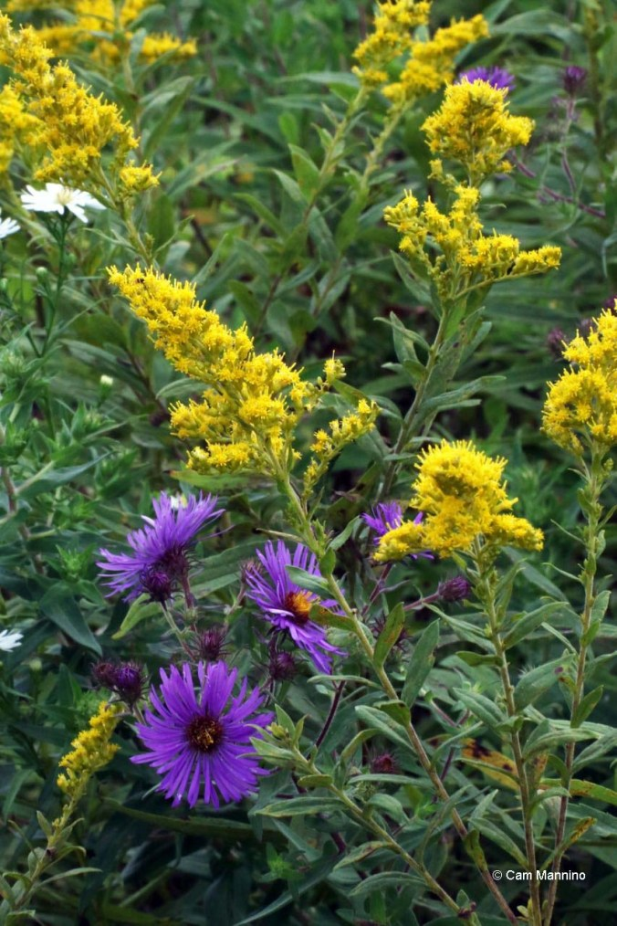 new england aster and goldenrod2