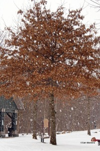 Pin Oak in snow
