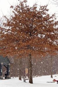 Pin Oak in snow
