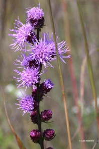 Rough Blazing-Star