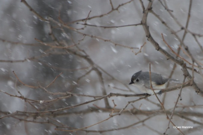 Titmouse in snowstorm
