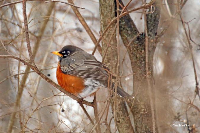 Winter Robin Snow Buckthorn