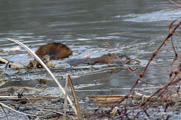 Young muskrat swims away