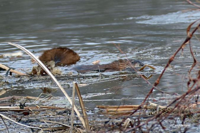 Young muskrat swims away