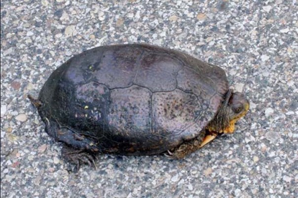 Blandings Turtle on Buell Road