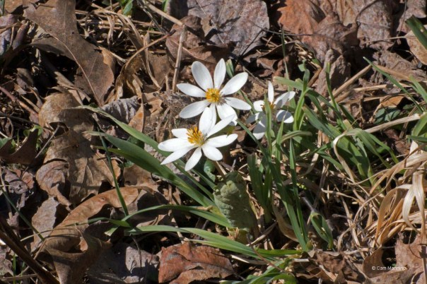 Blood root BC