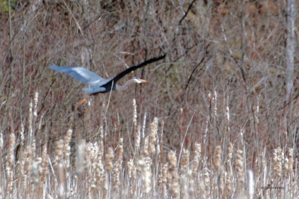 Blue Heron Draper Lake