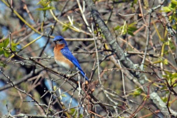 bluebird with nest materials2