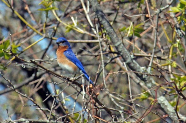 bluebird with nest materials2