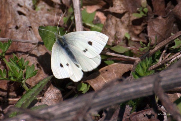 Cabbage Butterfly Draper