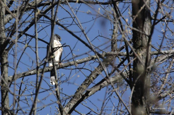 Cooper's hawk near nest
