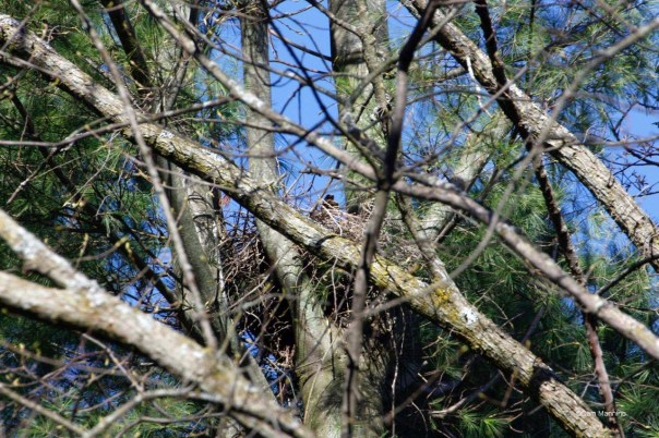 Cooper's Hawk nest w tail feather