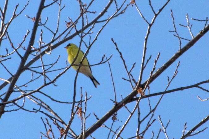 Goldfinch BC