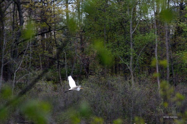 Great Egret flying marsh