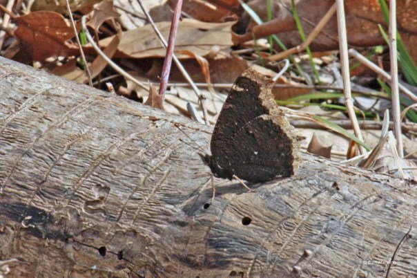 mourning cloak (1)