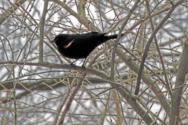 Red-winged blackbird in Autumn Olive