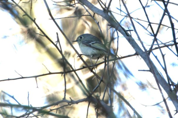 The Ruby-crowned Kinglet