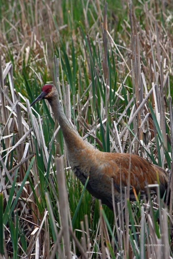 sandhill in marsh