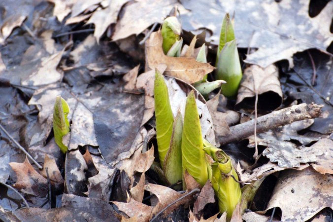 Skunk Cabbage2