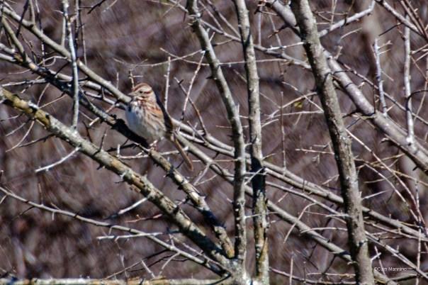 Song sparrow Draper1