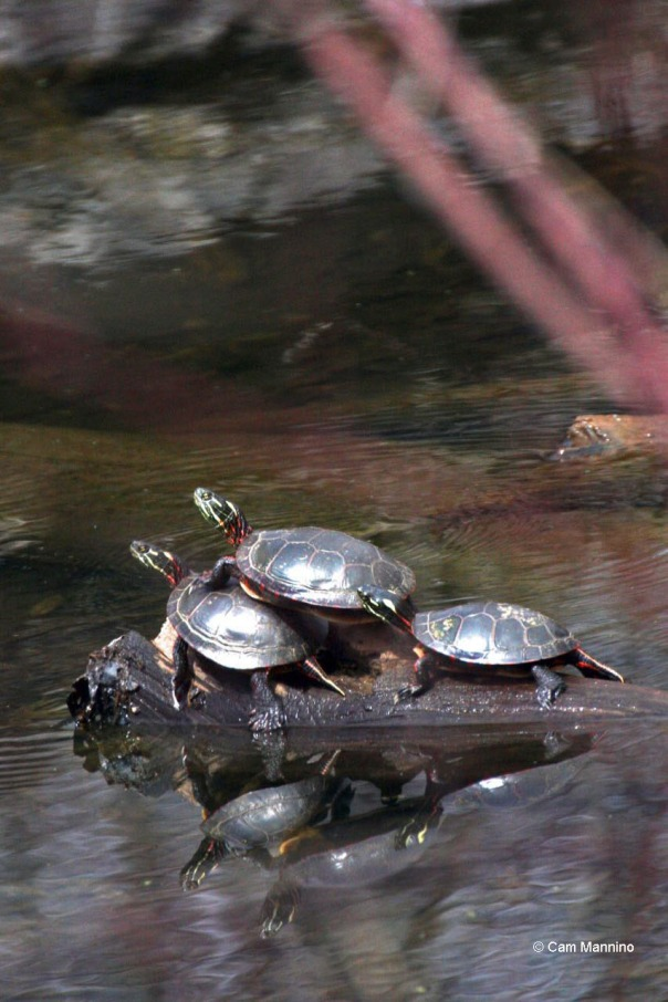 Turtle threesome