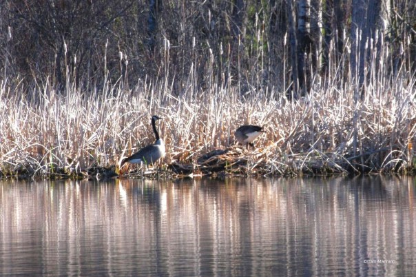 Two Canada Geese at nest