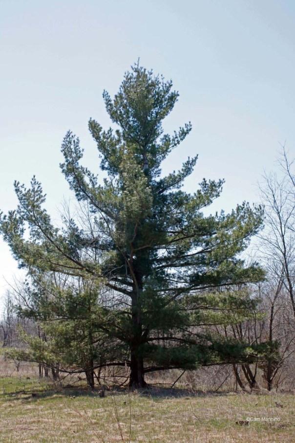 White Pine Draper