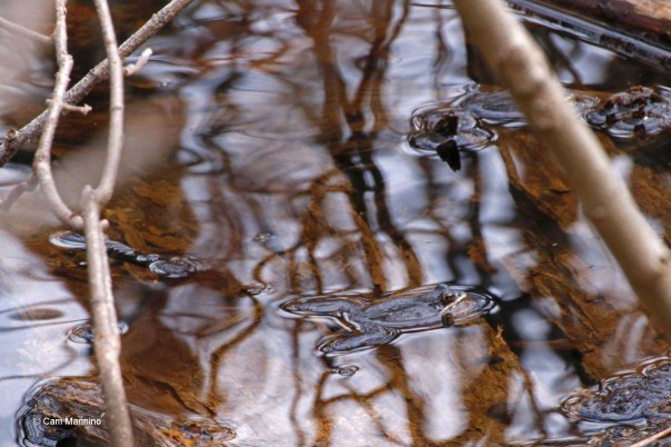 Wood frog in pond near house