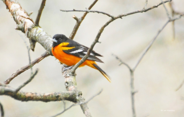 Baltimore oriole – Version 2