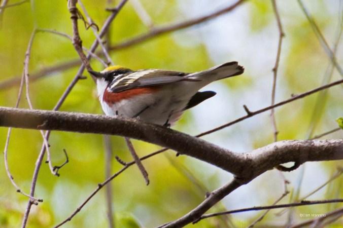 Chestnut-sided Warbler 3