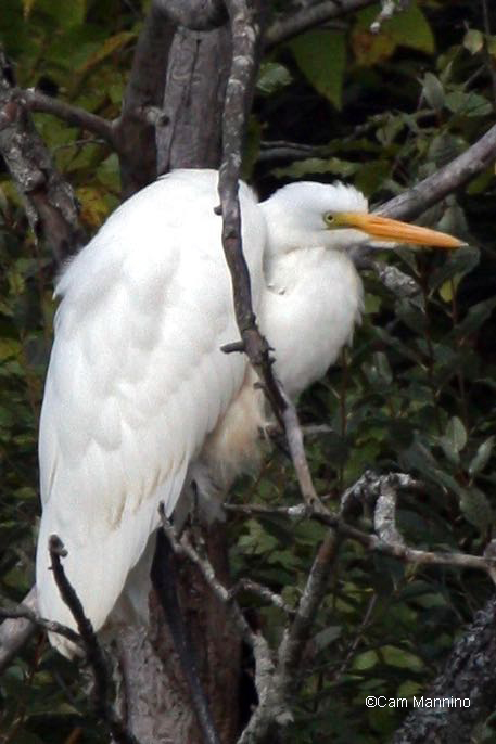 Egret in tree6 - Version 4