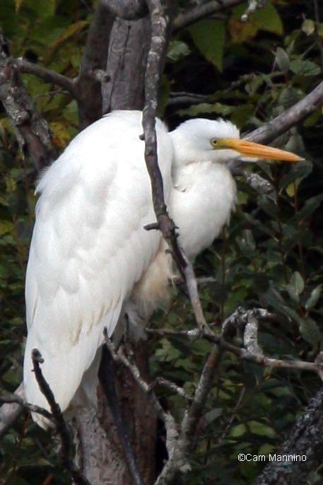 Egret in tree6 - Version 4