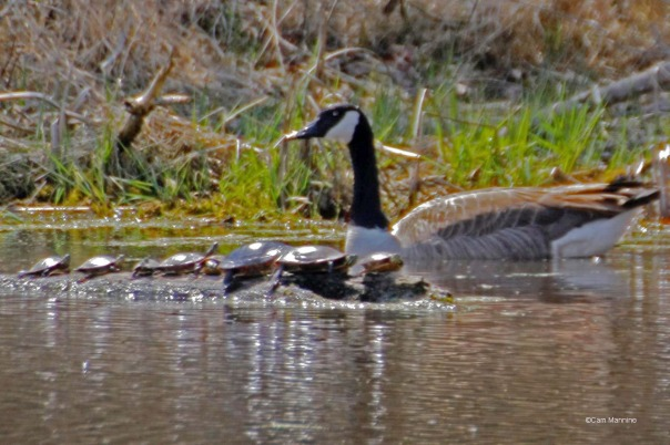Goose and turtles