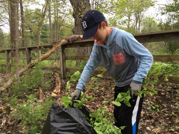 Removing garlic mustard at Bear Creek Nature Park, May 2016.