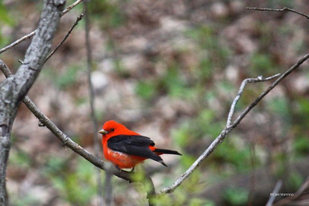 scarlet tanager2 - Version 2