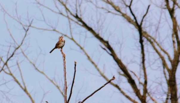 Song Sparrow BC