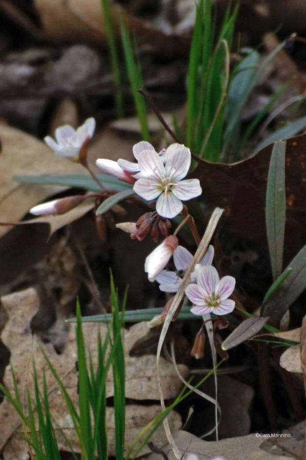 Spring Beauties
