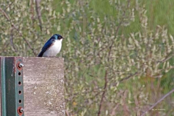 Tree swallow at home3
