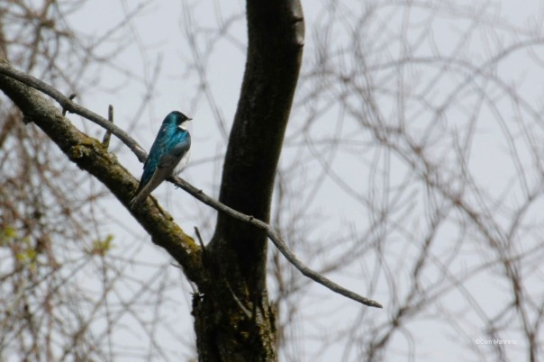 Tree Swallow at Playground Pond Bc