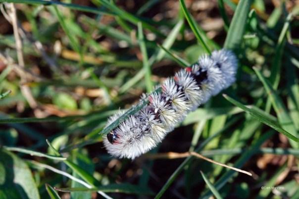 Virginia ctenucha moth caterpillar