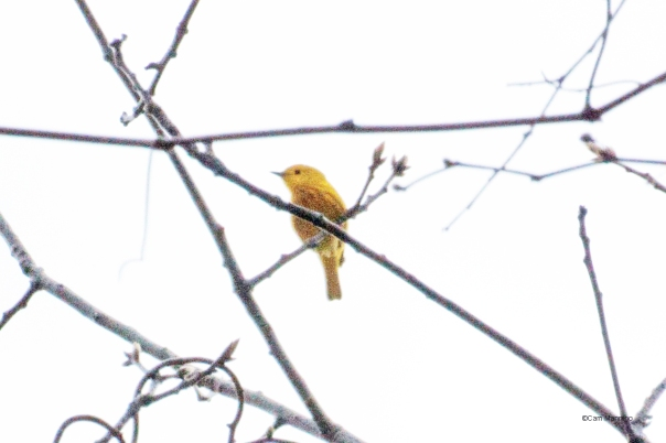 Yellow warbler2 Cranberry