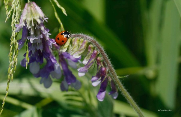 American ladybug on Hairy Vetch CL