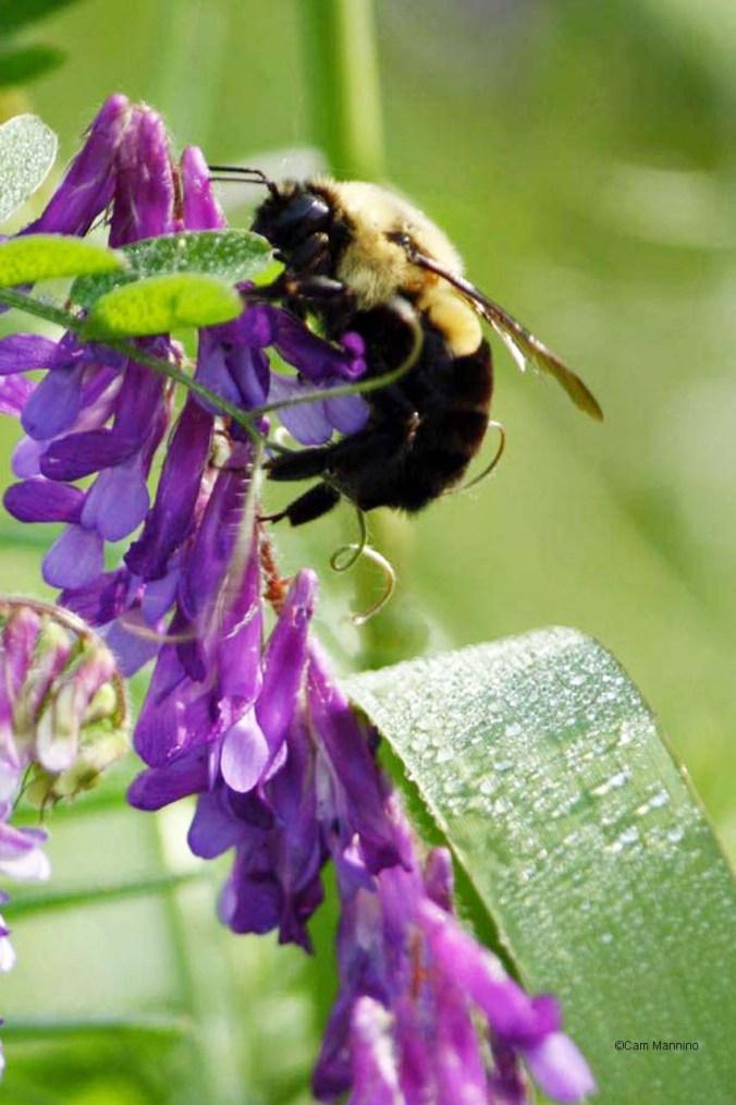 bumblebee vetch