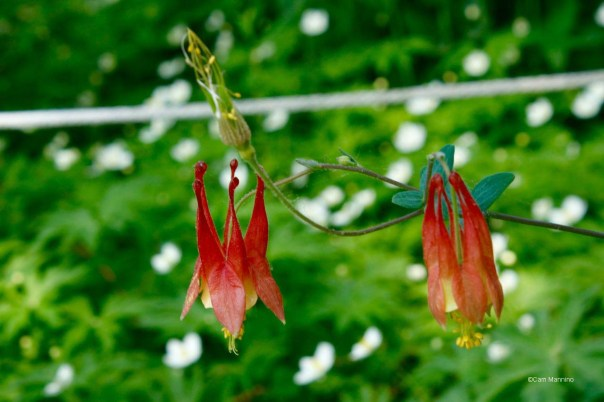Columbine blossoms in native bed BC