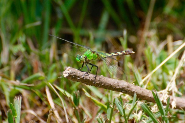 Eastern Pondhawk3 CL