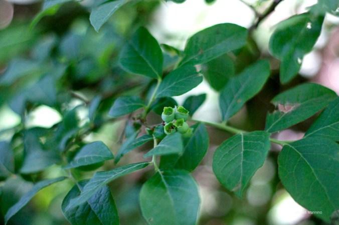 Highbush Blueberry, Vaccinium corymbosum.